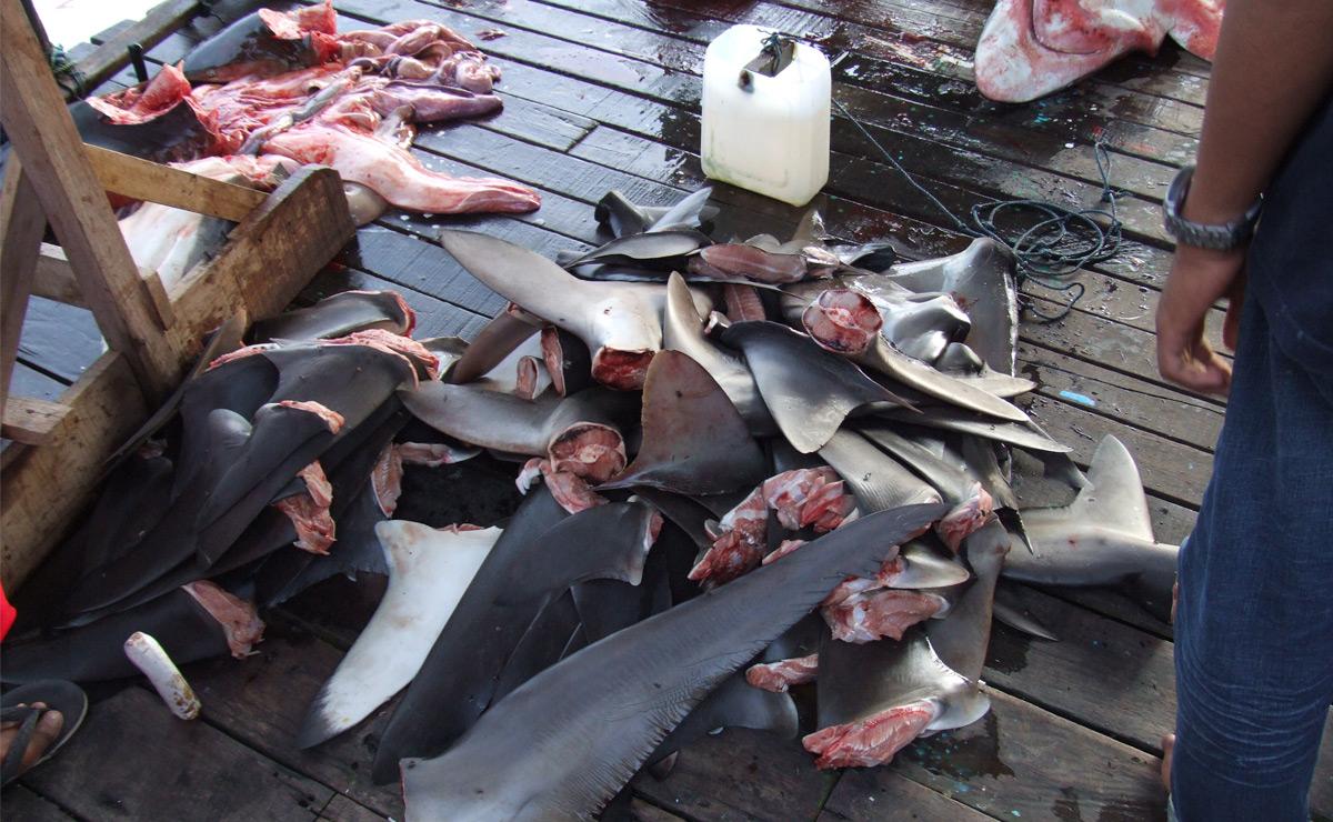 Aletas tiburon Finning