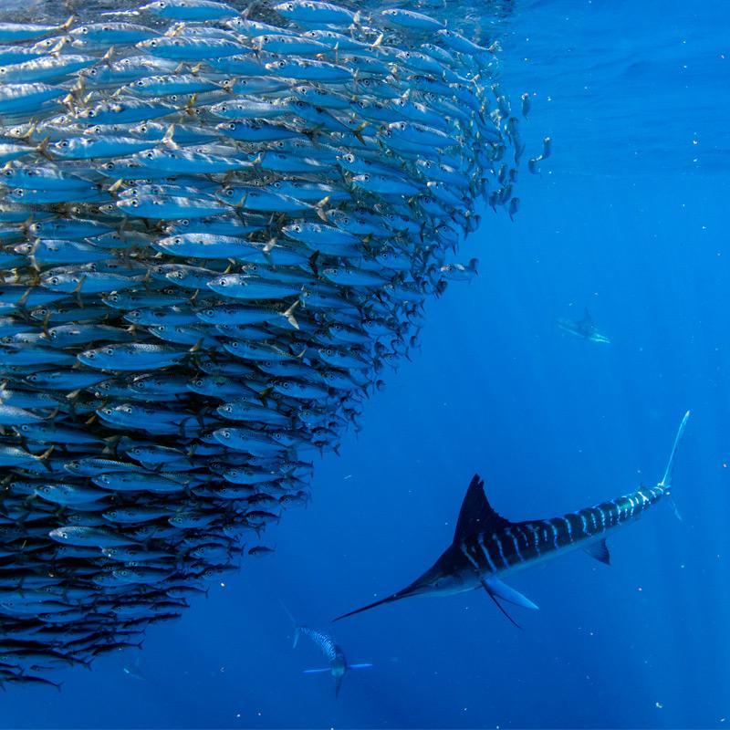 Marlin baja California sur con BRAVE Divers
