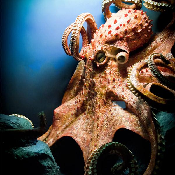 Quiz sobre Pulpos - pulpo Gigante del Pacífico