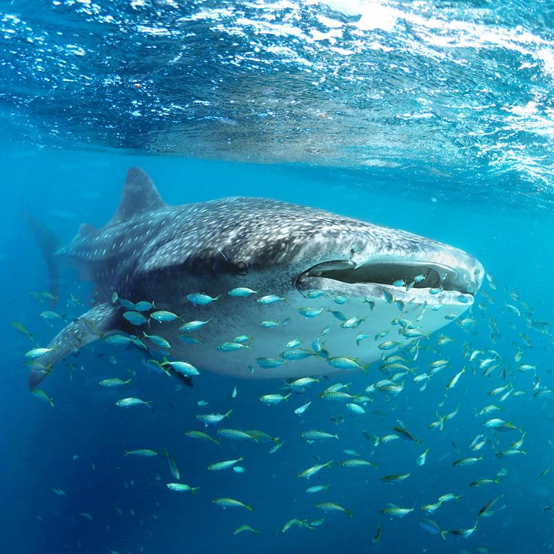 Tiburón Ballena Baja California
