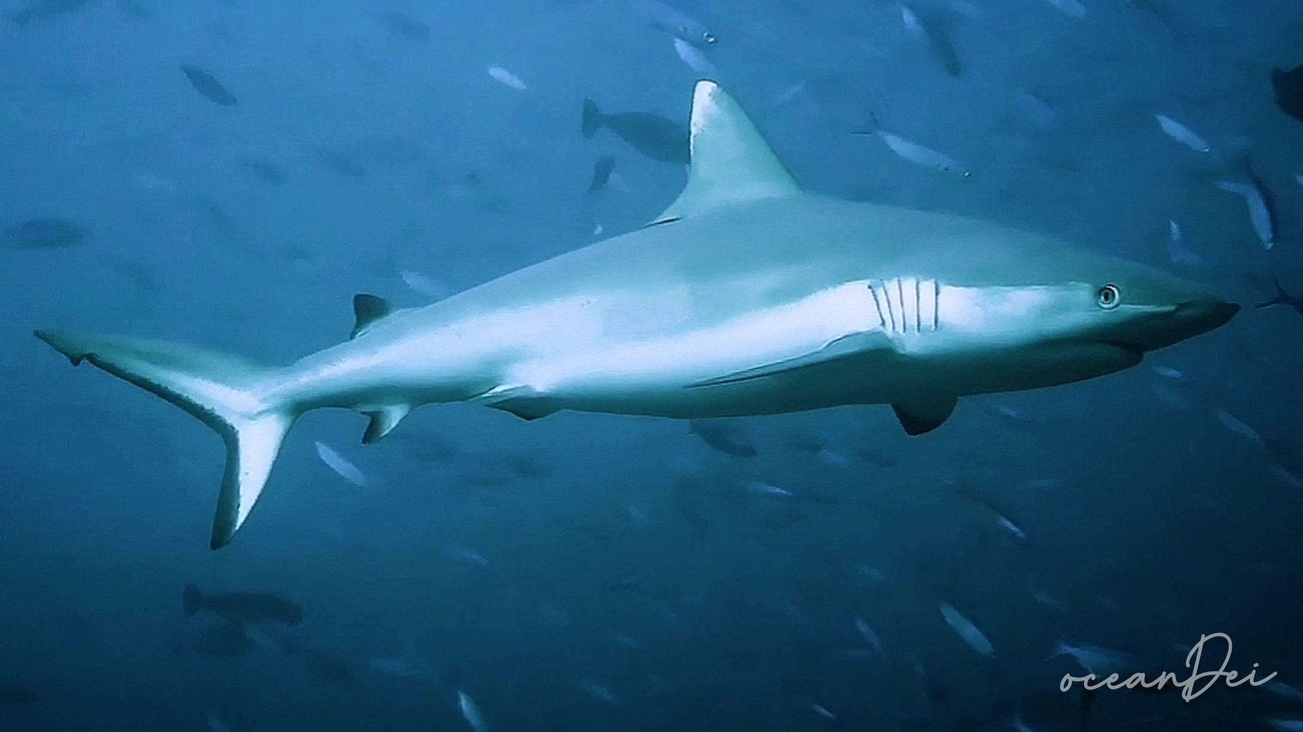 Tiburón punta blanca maldivas