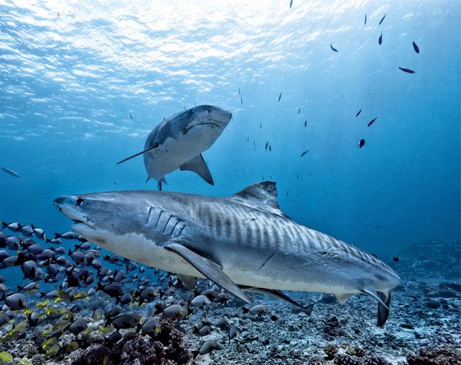 Tiburones en Sudafrica